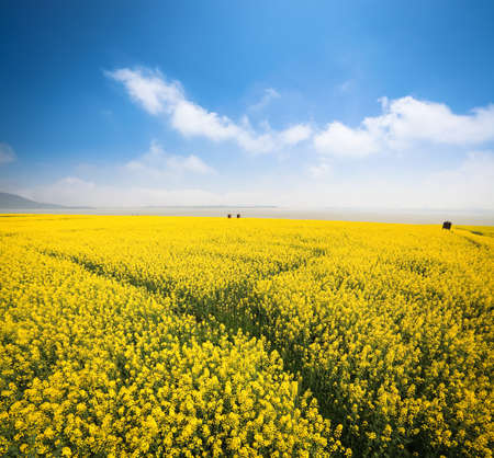 beautiful rapeseed field at riverside against a blue sky in spring Stock Photo - 17474292