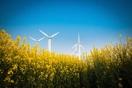 yellow rapeseed flower in bloom with blue sky and wind turbines  photo