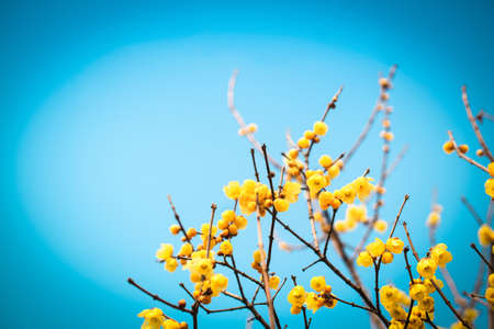 yellow blossom: blooming wintersweet flower with blue sky Stock Photo