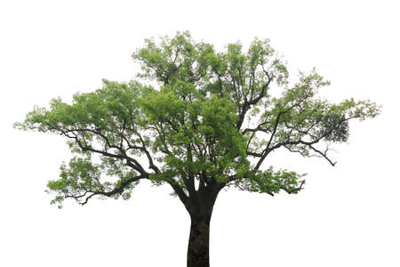 greenness: old camphor tree with white background