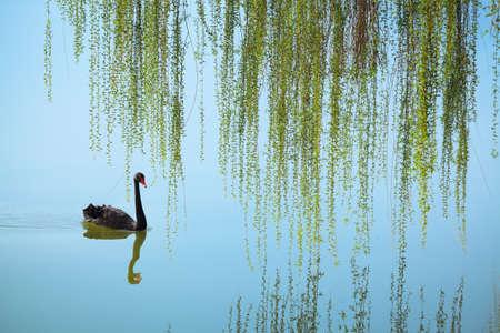 cisnes: sauce llorón y el cisne negro en el lago en primavera Foto de archivo