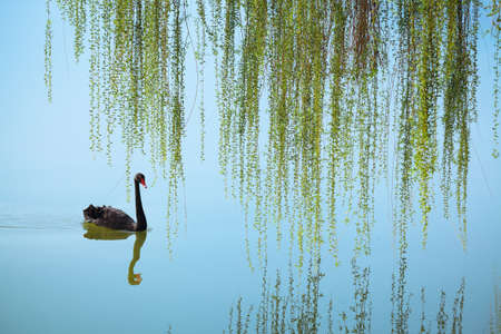 weeping willow and black swan on the lake in spring photo