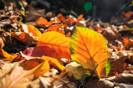 heralds: falling leaf heralds the coming of autumn  Stock Photo