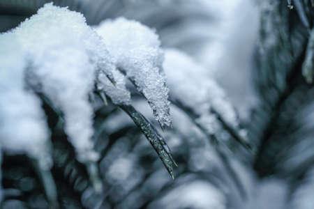 cycas: closeup of the cycas snowflakes  Stock Photo