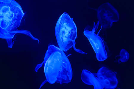 group of light blue jellyfish,transparent medusa photo