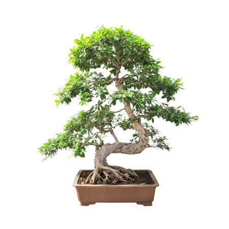 banyan tree: bonsai banyan tree with a white background