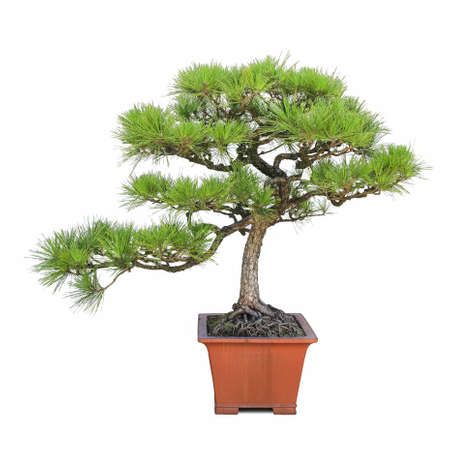 green bonsai pine tree with a white background photo
