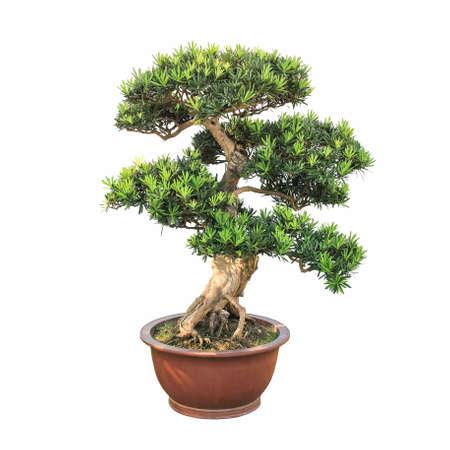 elm: bonsai elm tree with a white background