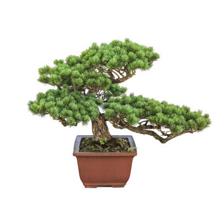 bonsai pine tree with a white background photo