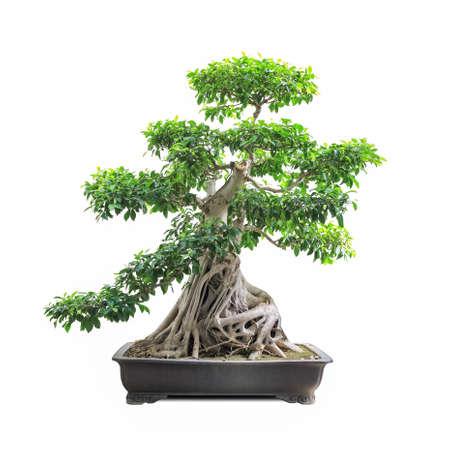 banyan tree: green bonsai banyan tree with a white background