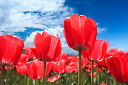 red tulips in bloom on the sunny spring  photo