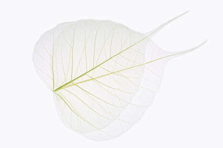 two bodhi leaves vein isolated on white background  photo