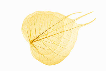 three yellow leaves vein isolated on white background photo