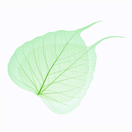 two green leaves vein isolated on white background photo