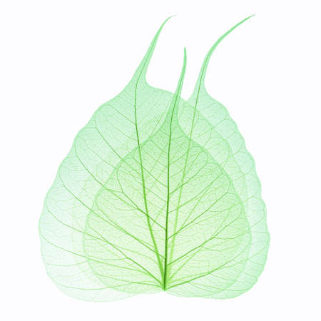 three green leaves vein isolated on white background photo