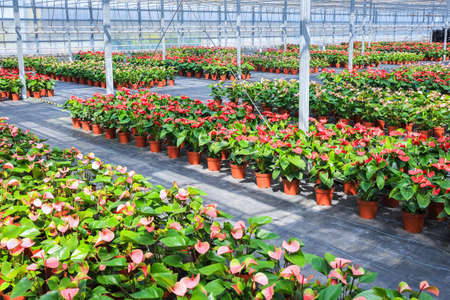 anthurium: flowers plant grow in greenhouse  ,red anthurium ,modern agriculture  Stock Photo