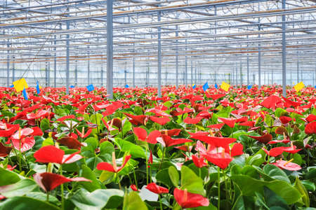 anthurium: red anthurium flowers grow in the greenhouse , modern concept of agriculture