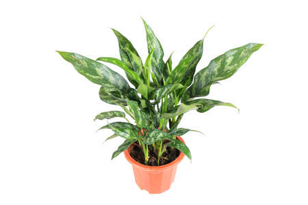 evergreen plant with a white background ,rohdea japonica