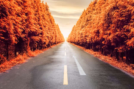 road autumnal: autumnal asphalt road and two row of neat metasequoia trees