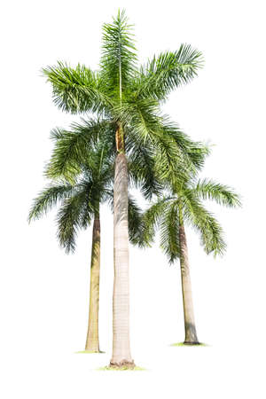three palm trees: three palm trees isolated on white  , king coconut Stock Photo