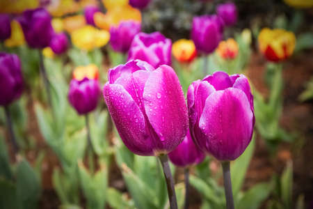 jardines con flores: purple tulips closeup with dew drops , spring floral background