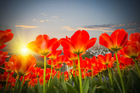 red floral: red tulips against a dusk sky  , spring floral background Stock Photo