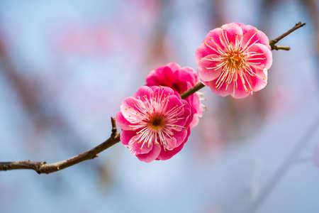 ciruelo: dos flores rojas del ciruelo del primer en el invierno