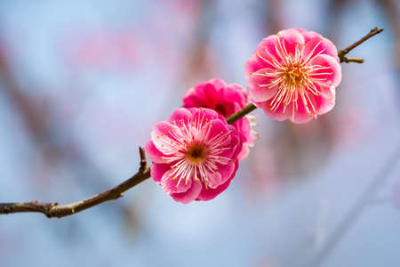 two red plum flowers closeup in the winter Фото со стока
