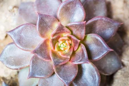 고기의: meaty plant close up of the houseleek