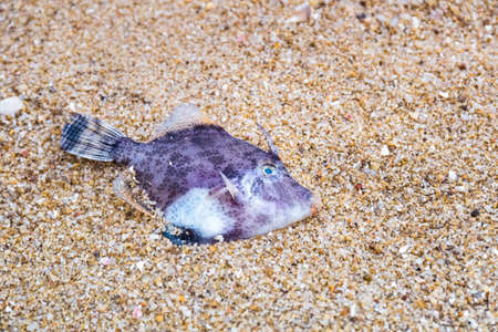 dead marine fish in the sand on beach photo
