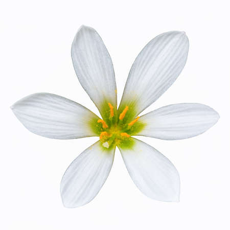 domestication: zephyranthes candida flower isolated on white with clipping path