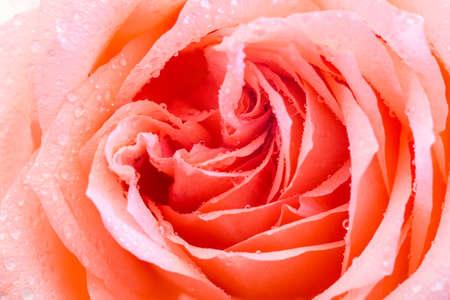 orange rose: orange rose closeup, beautiful natural flower as background