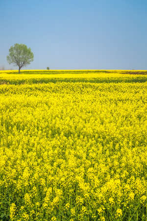 yellowing: spring landscape of rape in full bloom,rapeseed flowers were yellowing the fields Stock Photo