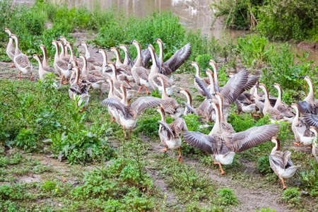 domestication: a group of chinese geese in poultry farm
