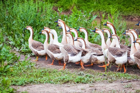 domestication: a flock of geese in the poultry farm Stock Photo
