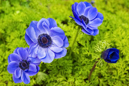 anemone flower: beautiful blue anemone flower in full bloom