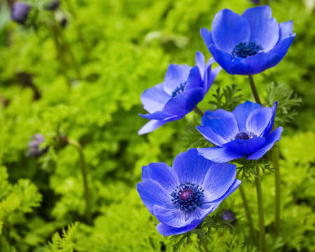 blue anemone flower in full bloom,beautiful nature background Stock Photo