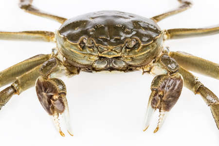 freshwater: closeup of the freshwater crab on white background