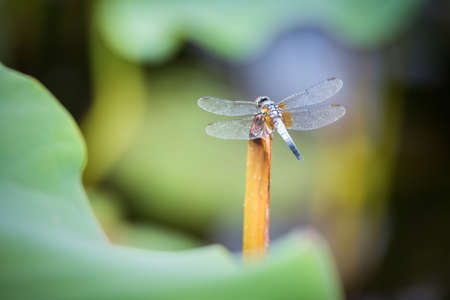 dragonfly wings: dragonfly closeup on lotus stem in pond Stock Photo