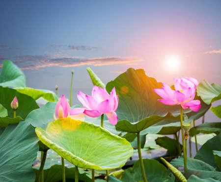 lotus flower blooming in sunset on lake