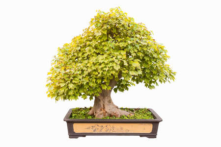 miniature: trident maple in autumn bonsai with a white background