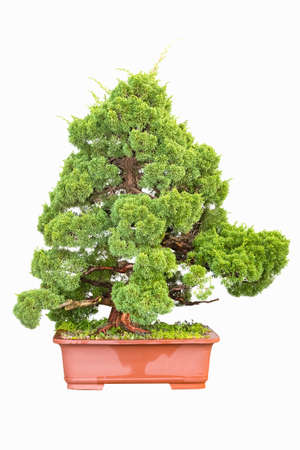 cypress tree: bonsai tree of cypress isolated on white