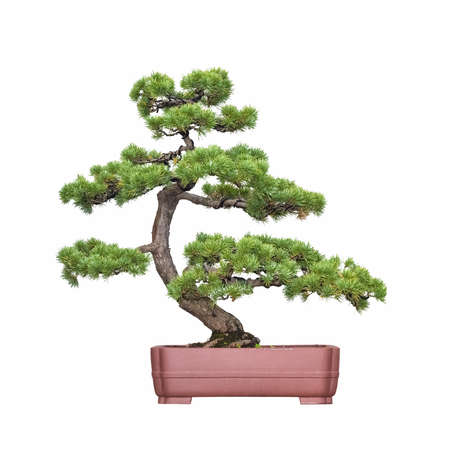 gardening: bonsai tree of pine with a white background Stock Photo