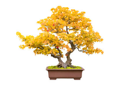 bonsai tree of trident maple in autumn with a white background