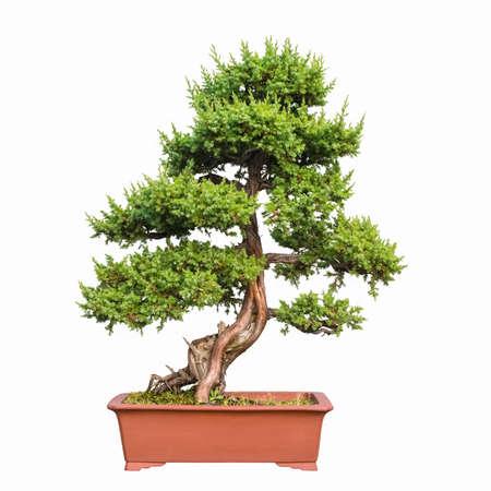 enebro: árbol de los bonsai de enebro Shimpaku con un fondo blanco