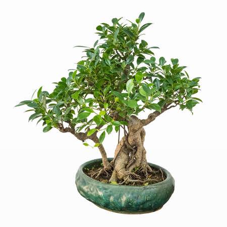 feuille arbre: arbre bonsaï de banian avec un fond blanc
