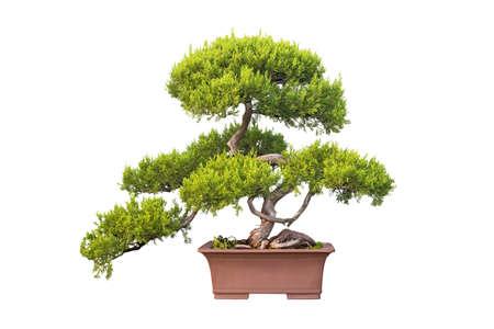 enebro: árbol de los bonsai de enebro chino aislado en un fondo blanco Foto de archivo