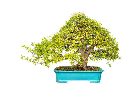 elm: bonsai tree of chinese elm with a white background