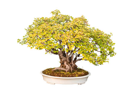 plant in pot: trident maple bonsai tree with a white background