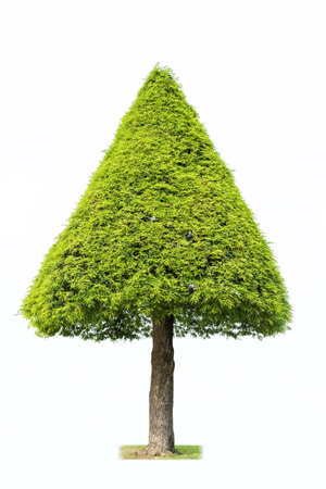 topiary: topiary landscape plant in the form of a christmas tree,  isolated on white Stock Photo